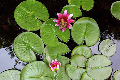 Photograph - Pacific Tree Frog On Water Lily Flower Aerial View by Jit Lim