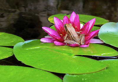 Photograph - Pacific Tree Frog On Water Lily Flower by Jit Lim