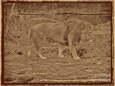Photograph - Pacing Lion by Steven Parker