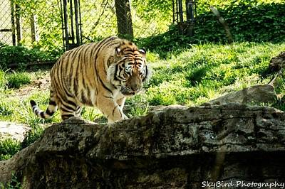 Pittsburgh Zoo Photograph - Pacing by Megan Miller