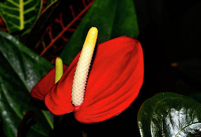 Photograph - Pacora Anthurium Plant - Red Hot 001 by George Bostian