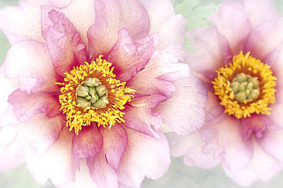 Paeonia Hillary Print by Jacky Parker