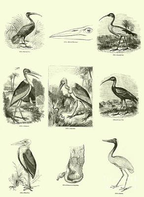Herons Drawing - Page From The Pictorial Museum Of Animated Nature  by English School