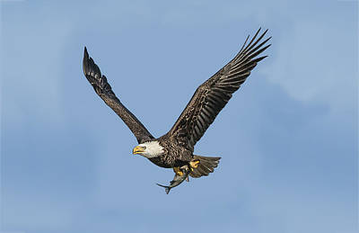 Photograph - Eagle's Catch Of The Day by William Bitman