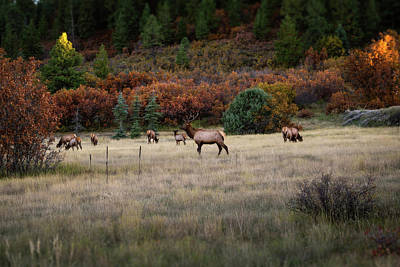 Photograph - Pagosa Autumn Elk by Jason Coward