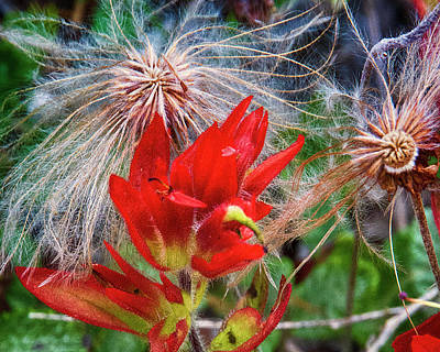 Photograph - Paintbrush And Tendril Seed Head by Brian Brandt