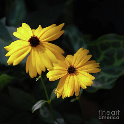 Ethereal - Painted Black Eye Susans by Skip Willits