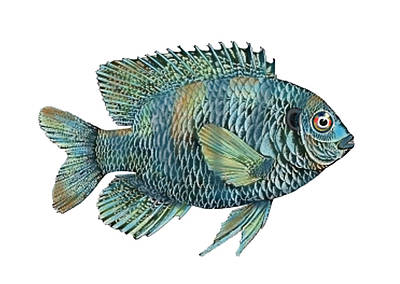 Bluegills Painting - Painted Bluegill Fish No Background by Sandi OReilly