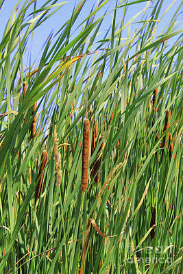 Photograph - Painted Bulrushes by Nina Silver