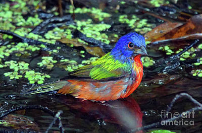 Photograph - Painted Bunting After Bath by Larry Nieland