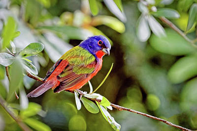 Photograph - Painted Bunting by Dawn Currie