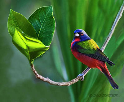 Photograph - Painted Bunting by Don Durfee