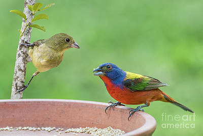 Photograph - Painted Bunting Male And Female by Bonnie Barry