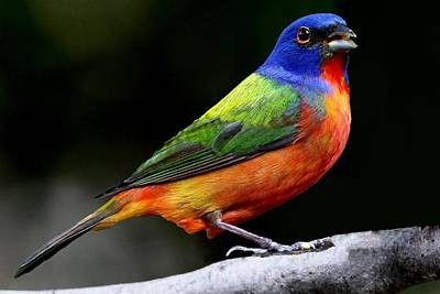 Photograph - Painted Bunting - Male by Ira Runyan
