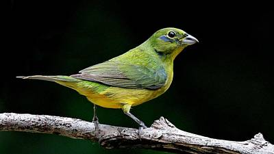 Photograph - Painted Bunting - Second Year Male by Ira Runyan