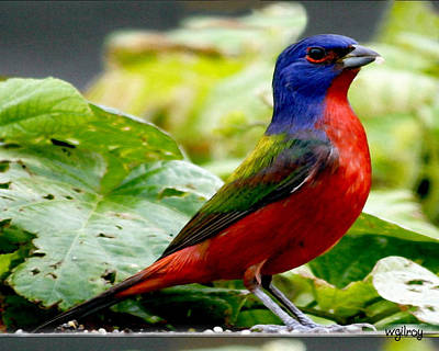 Sebastian Florida Photograph - Painted Bunting by W Gilroy