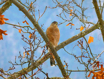 Painting - Painted Cooper's Hawk  by Will Borden