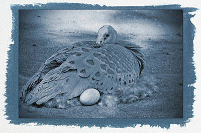 Baby Animal Photograph - Painted Cyanotype Bird Laying Egg by Aimee L Maher Photography and Art Visit ALMGallerydotcom