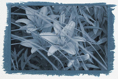 Photograph - Painted Cyanotype Orange Tiger Lilies by Aimee L Maher Photography and Art Visit ALMGallerydotcom