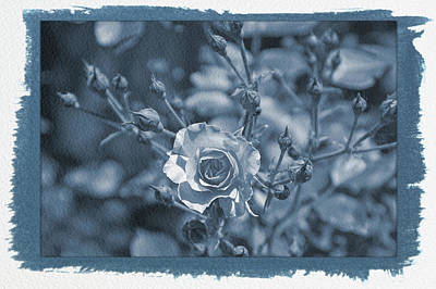 Photograph - Painted Cyanotype Pink Rose by Aimee L Maher ALM GALLERY