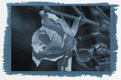 Photograph - Painted Cyanotype Rose Close Up by Aimee L Maher ALM GALLERY