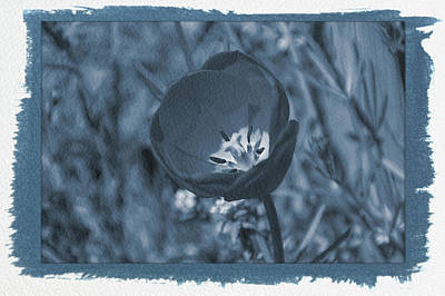 Photograph - Painted Cyanotype Tulip by Aimee L Maher ALM GALLERY