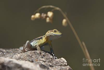Reptiles Royalty-Free and Rights-Managed Images - Painted Dragon by Bill Robinson