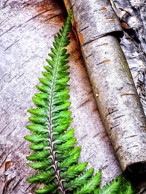 Photograph - Painted Fern By Birch by Peg Runyan