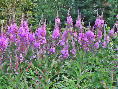 Photograph - Painted Fireweed by Shari Jardina