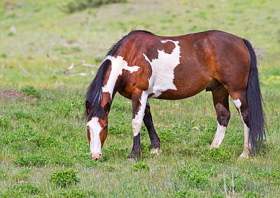 Pinto Horses Photograph - Painted Horse by Naman Imagery