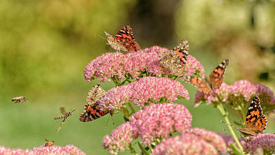 Photograph - Painted Ladies And Wasp Bees..... by Paul Vitko
