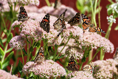 Photograph - Painted Ladies Gathering by Shelly Gunderson