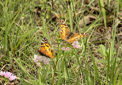 Photograph - Two Painted Lady Butterflies by Sheila Brown
