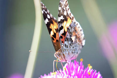 Photograph - Painted Lady 1 by Brian Hale
