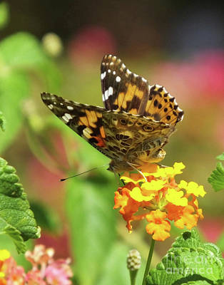 Photograph - Painted Lady 2 by Lizi Beard-Ward