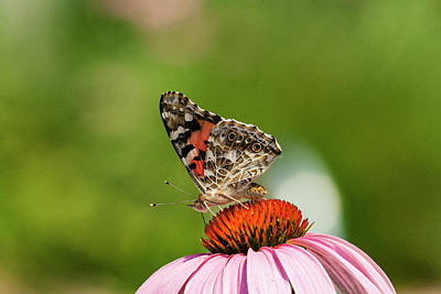 Photograph - Painted Lady 2 by Pete Federico