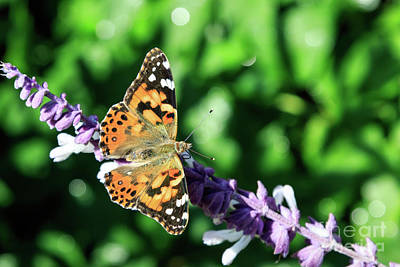 Photograph - Painted Lady #2 by Richard Smith