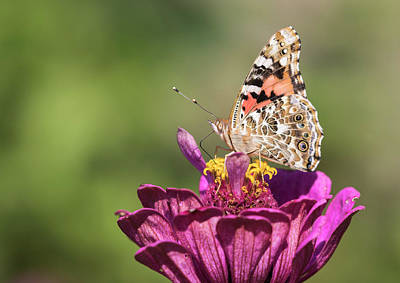 Photograph - Painted Lady 2017-2 by Thomas Young