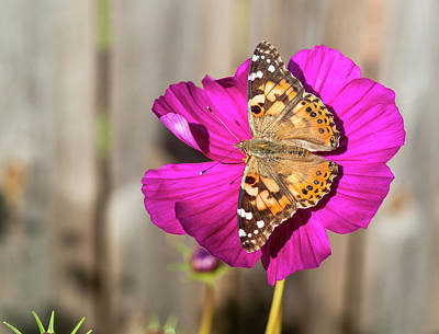 Photograph - Painted Lady 2017-4 by Thomas Young