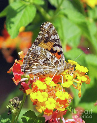 Photograph - Painted Lady 3 by Lizi Beard-Ward