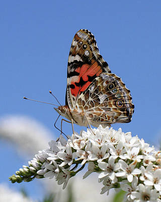 Photograph - Painted Lady Against The Sky by Doris Potter