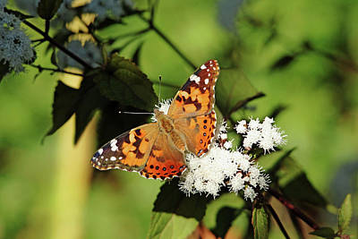Photograph - Painted Lady And Chocolate Joe Pye by Debbie Oppermann