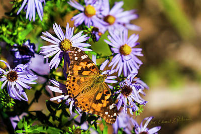 Photograph - Painted Lady And Purple by Edward Peterson