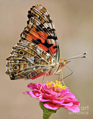 Photograph - Painted Lady by Art Cole