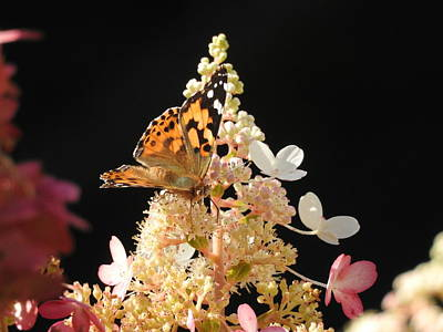 Photograph - Painted Lady by Betty-Anne McDonald