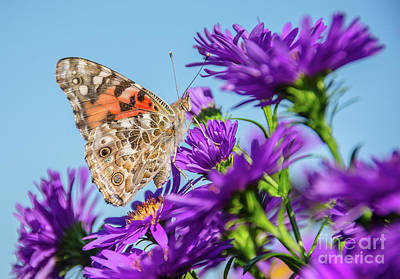 Photograph - Painted Lady Blue Sky by Cheryl Baxter