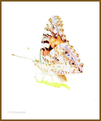 Photograph - Painted Lady Butterfly by A Gurmankin