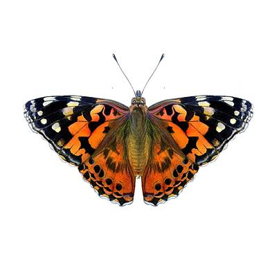 Painting - Painted Lady Butterfly by Alison Langridge