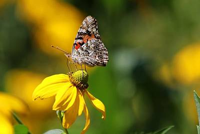 Photograph - Painted Lady Butterfly by Carol Montoya
