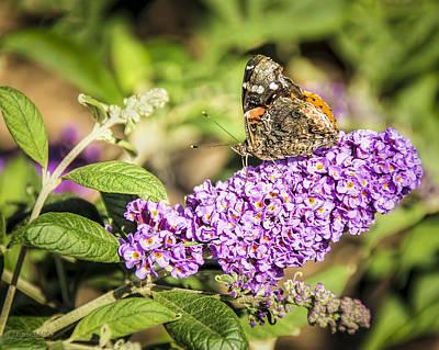 Photograph - Painted Lady Butterfly  by LeeAnn McLaneGoetz McLaneGoetzStudioLLCcom